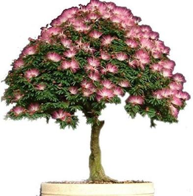 Futaba Bonsai Albizia Flower Seed