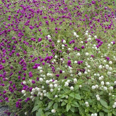 Biocarve Gomphrena Choice Mix Seed