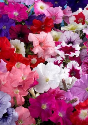 Real Seed Petunia Mixed Hybrid Imported Flower Seeds Seed