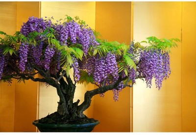 Rainbow Spring Seeds Bonsai Wisteria Tree Seed