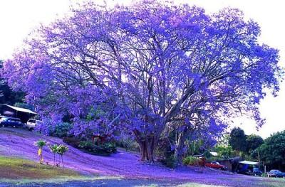 SeedFactory Neeli Jacaranda Seed