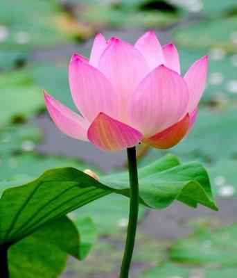 kcz lotus Seed