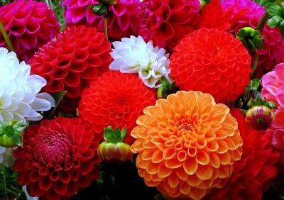 Saaheli Dhalia Decorative Mix Seed