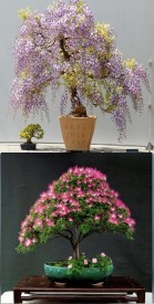 Rainbow Spring Seeds Bonsai Wisteria Tree And Mimosa Silk Tree Albizia Flower Seed(10 per packet)