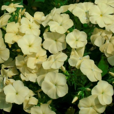 Biocarve Phlox Beauty Yellow Seed