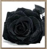 Rainbow Spring Seeds Rare Black Rose Flo...