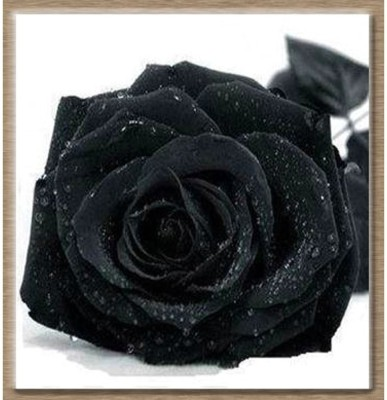 Rainbow Spring Seeds Rare Black Rose Flower Seed(50 per packet)