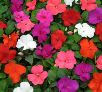 Omaxe Impatiens Super Mixed, 30seeds*3pkts Seed
