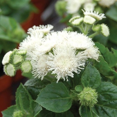 Saaheli Ageratum Ball White Seeds Seed