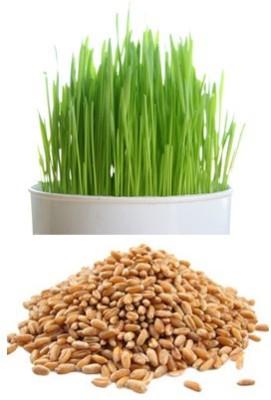 Alkarty Wheatgraas Seed