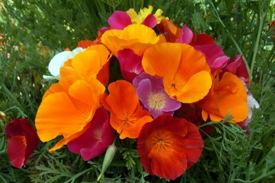 Saaheli CALIFORNIA POPPY MIX Seeds Seed