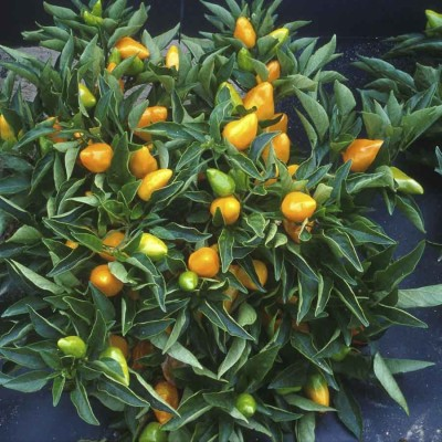 Biocarve Ornamental Chilli Choice Mix Seed