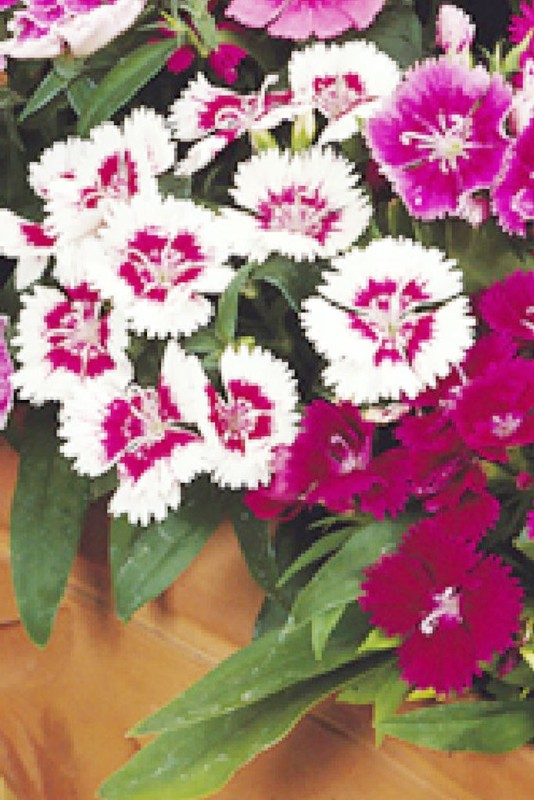 Seedlings India Dianthus Baby Doll Mixed Hybrid Seed(60 per packet)