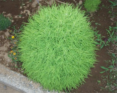Farm Seeds Kochia Fire Bush Seed