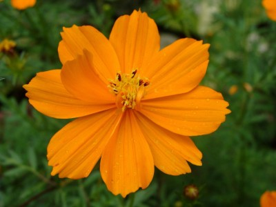 Farm Seeds Cosmos Orange Seed
