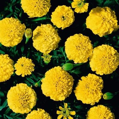 Saaheli Flower French Marigold Yellow Seed