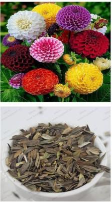 Alkarty Zinnia seed Seed
