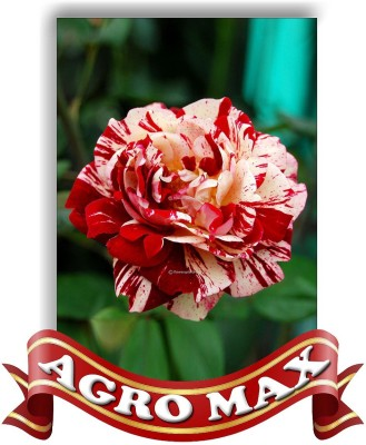 AGRO MAX BALSAM ROSE SPECIAL MIXED Seed