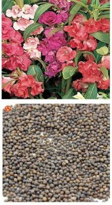 Alkarty Balsam Seed