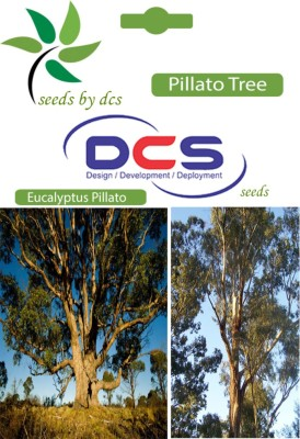 DCS Pillato Forest Plant (5g Seeds Per Pack) Seed