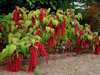 Saaheli Amaranthus Love Lies Seed