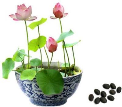 Mpro-Tech Lotus Nelumbo Nucifera Seed