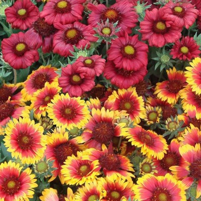 Farm Seeds Gaillardia Mixed Seed