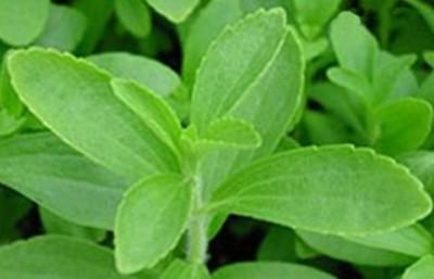 Seedbazaar Stevia (Stevia rebaudiana) Seed