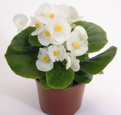 Saaheli Flower Begonia Semperflorens White Seed