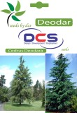 DCS Deodar Forest Plant (10 Seeds Per Pa...