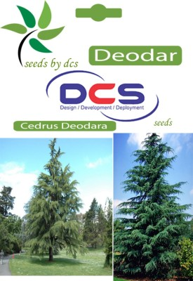 DCS Deodar Forest Plant (10 Seeds Per Pack) Seed