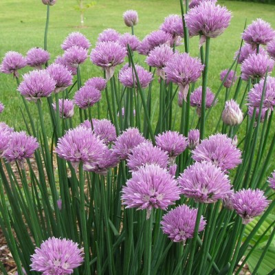 Biocarve Chives Seed