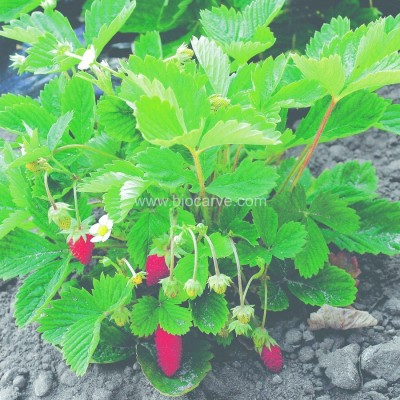 Biocarve Alpine Strawberry Seed