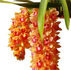 Futaba Cymbidium Maxillaria Goeringii Noble Orchid Seed(20 per packet)