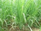 E-Plant Lemongrass seeds Seed (50 per pa...