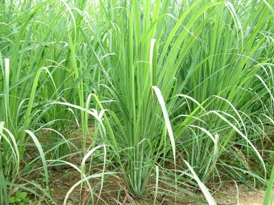 E-Plant Lemongrass seeds Seed