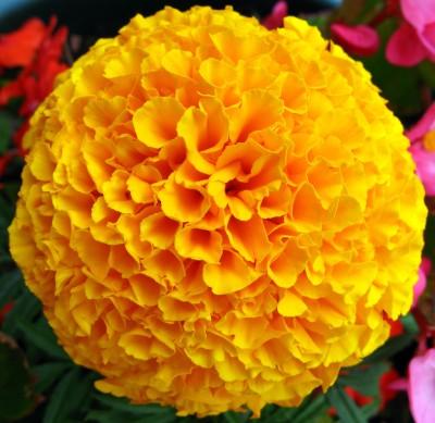 Saaheli Flower French Marigold Orange Seed