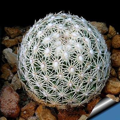Futaba Aurora ball Cactus Seed