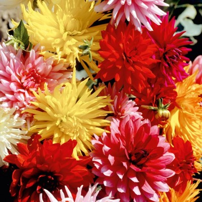 E-Plant Dahlia winter Seed(50 per packet)
