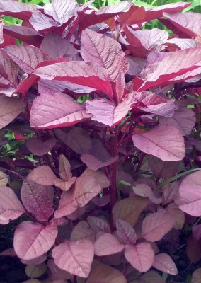 Real Seed Red Spinach Amarnath F1 Hybrid Imported Seed