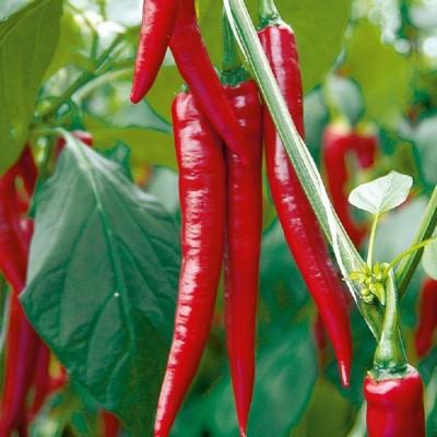 Biocarve Chilli Hot Pepper Seed