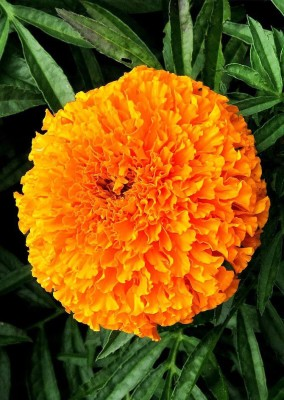 Real Seed Marigold African Mixed Hybrid Imported Seed