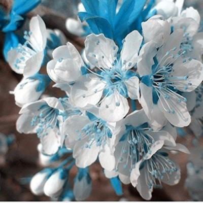 Futaba Rare Blue sky White Cherry Japanese Sakura Seed