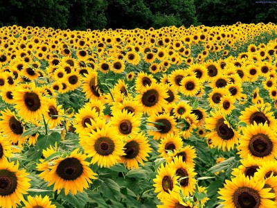 Farm Seeds Sunflower Russian Giant Seed