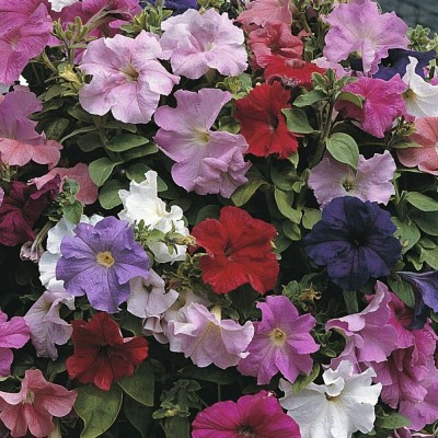 Agricart Petunia Super Cascade F1 Mix Seed(50 per packet)