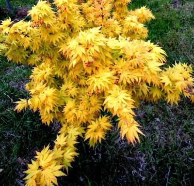 Futaba Yellow Maple Seed