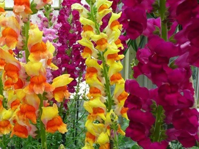 Omaxe Snapdragon Antirrhinum Dog Flower Mixed, 50seeds*3pkts Seed