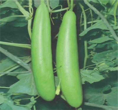 Green Octane Bottle Gourd CAS_700(Pack of 4) Seed