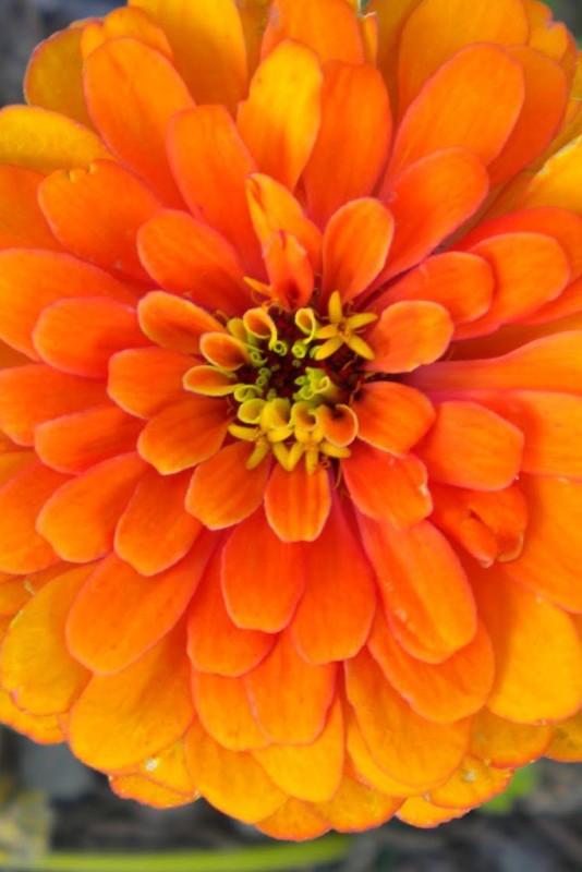 Seedlings India Zinia Orange King Hybrid Seed(60 per packet)