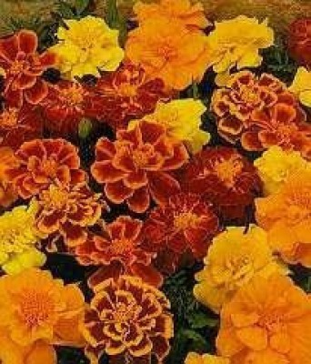 Kraft Seeds French Marigold Sparky Mix Seed